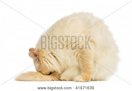 Birman sitting and cleaning itself against white background