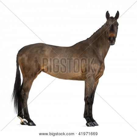 Female Belgian Warmblood, BWP, 4 years old, with mane braided with buttons, looking at camera against white background