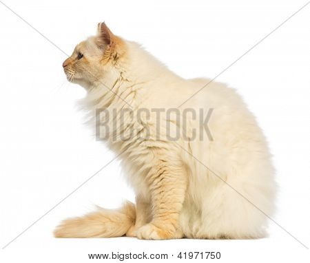 Birman sitting and looking away, side view against white background