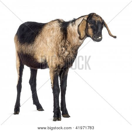 Close-up of an Anglo-Nubian goat with a distorted jaw, looking away against white background