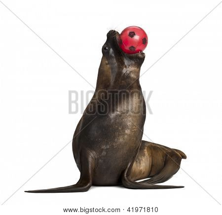 California Sea Lion, 17 years old, playing with ball against white background