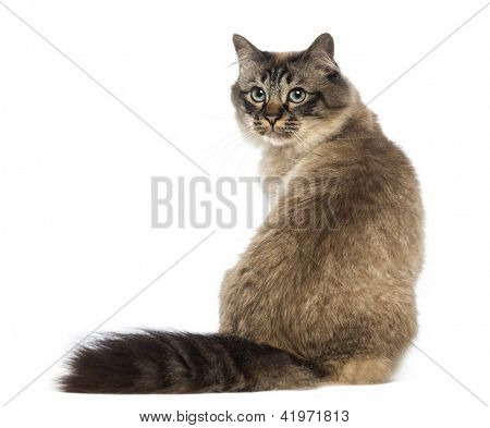Rear view of a Birman sitting and looking back against white background