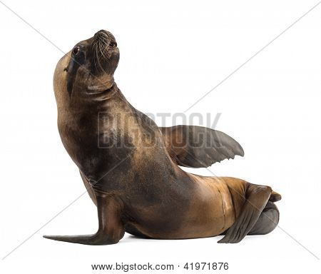 California Sea Lion, 17 years old, lying against white background