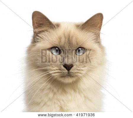 Close-up of a Birman looking at camera, crossed-eyes against white background