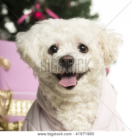 Bichon Fris���© in front of Christmas decorations against white background
