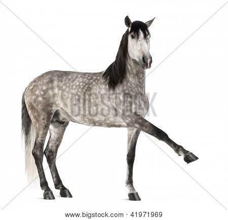 Andalusian raising front leg, 7 years old, also known as the Pure Spanish Horse or PRE against white background