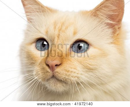 Close-up of a Birman looking away against white background