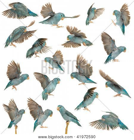 Composition of Pacific Parrotlet, Forpus coelestis, flying against white background
