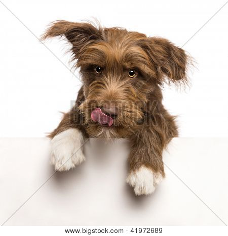 Crossbreed, 5 months old, leaning on a white panel and licking lips against white background