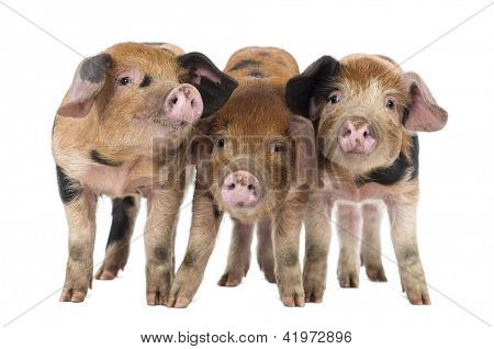 Front view of Three Oxford Sandy and Black piglets, 9 weeks old, against white background