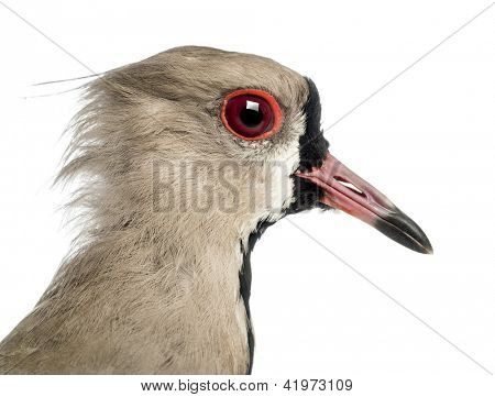 Close-up of a Pied Plover, Vanellus cayanus, also known as the Pied Lapwing against white background