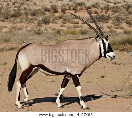 Oryx In Kalahari Desert