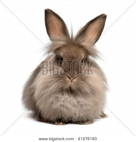 Una mentira Chocolate coloreado Lionhead Bunny Rabbit