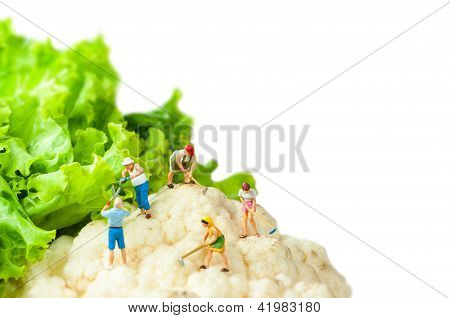 Farmers Harvesting Giant Cauliflower