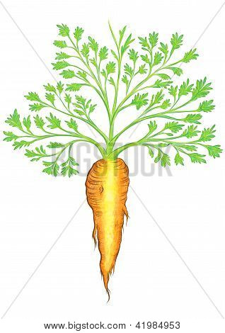 Beautiful Carrot