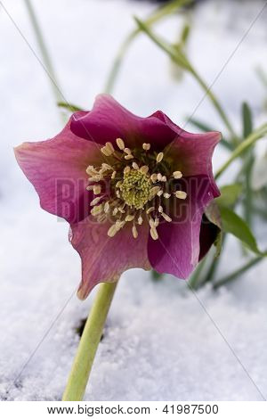 Hellebore (Helleborus niger) or Christmas Rose flowers in their natural habitat,  shallow DOF