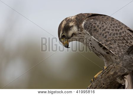 Prairie Falcon Looks Down