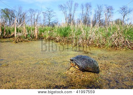 Blandings tortuga (blandingii de Emydoidea)