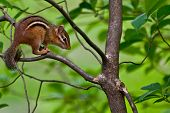 picture of chipmunks  - An Eastern Chipmunk climbing a small tree - JPG