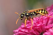 foto of hornet  - A little hornet hunting on a red flower - JPG
