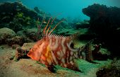 stock photo of hogfish  - Hogfish or underwater lachnolaimus maximus against beautiful underwater seascape - JPG