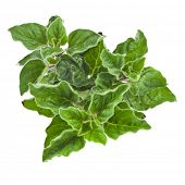 image of origanum majorana  - fresh leaves oregano  - JPG