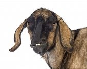 image of anglo-nubian goat  - Close - JPG