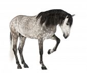 Andalusian raising front leg, 7 years old, also known as the Pure Spanish Horse or PRE against white background poster