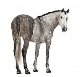 Rear view of an Andalusian, 7 years old, looking back, also known as the Pure Spanish Horse or PRE against white background poster