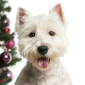 foto of west highland white terrier  - West Highland White Terrier in front of Christmas decorations against white background - JPG
