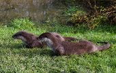 Pair Of European Otters