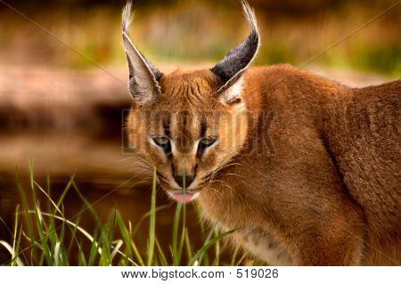 Animal Caracal Cat