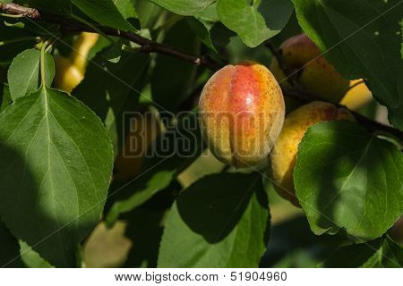 Ripe Apricot.