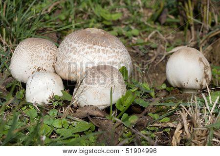 Ripe Field mushroom on the Meadow, Agaricus campestris