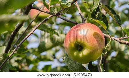 Ripe Apple.
