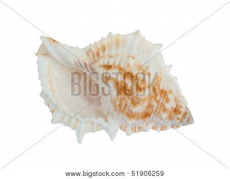 Sea Shell .