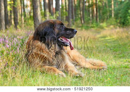 Leonberger Dog, Outdoor