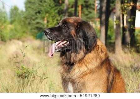 Leonberger Dog. Outdoor Portrait