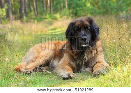 Leonberger Dog Resting On Grass