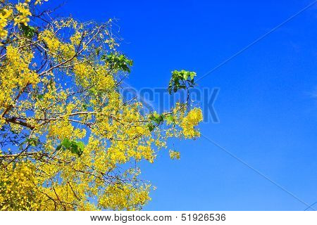 Cassia Fistula In Clear Blue Sky