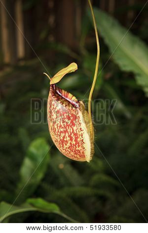 Pitcher Plants In Green House