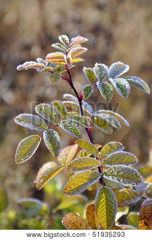Hoarfrost On A Dogrose Branch