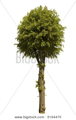 Lime Tree  Isolated On A White Background