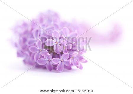 Fragrant Lilac Blossoms