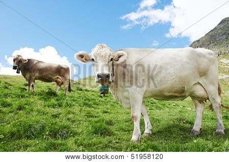 milck cow with bell grazing on Switzerland Alpine mountains green grass pasture over blue sky