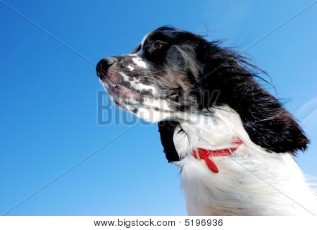 Young English Springer Spaniel