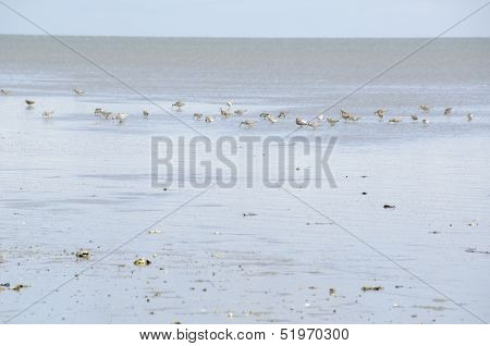 Black-tailed Godwit, Limosa Limosa