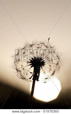 Sunset Dandelion Macro