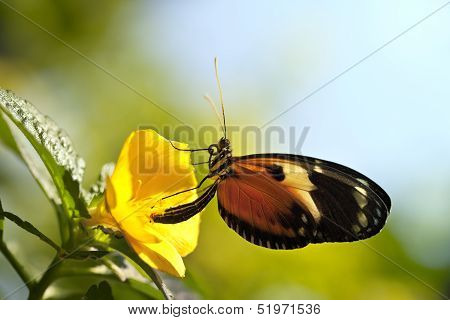 Tiger Longwing Butterfly Macro