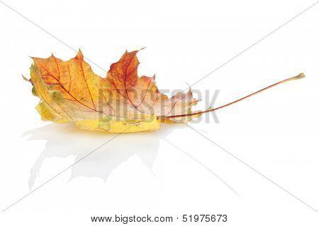 Colorful autumn maple leaf. Isolated on white background